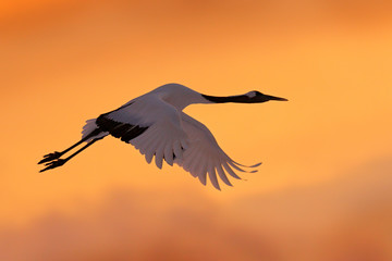 Crane sunset, Japan. Bird fly, wildlife scene from snowy nature. Red-crowned crane flight above snowy meadow, Russia, Asia. Cold day in the nature, big white bird on the evening orange sky.
