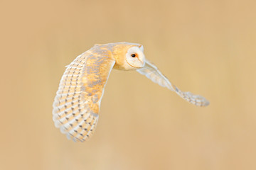 Wall Mural - Barn Owl, Tyto alba, flight above the rime white grass in the morning. Wildlife, bird scene from nature. Cold morning sunrise, animal in the habitat. Owl fly with open wings.