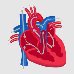 the human heart, the study of anatomy, the path of blood flow in