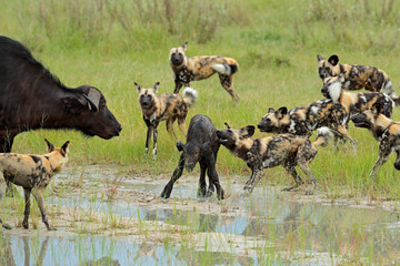 Wild Dog Hunting in Botswana, buffalo cow and calf with predator. Wildlife scene from Africa, Moremi, Okavango delta. Animal behaviour, pack pride of African wild dogs offensive attack on calf. Wall mural