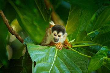 Squirrel monkey, Saimiri oerstedii, sitting on the tree trunk with green leaves, Corcovado NP, Costa Rica. Monkey in the tropic forest vegetation. Wildlife scene from nature. Beautiful cute animal. Wall mural