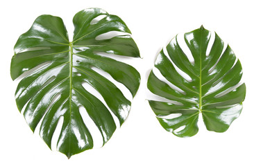 Two green leaves Monstera on white isolated background. Concept fashion growing flora