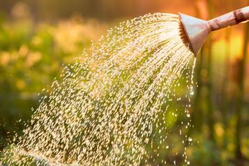 Fototapeta Watering can on the garden,Watering the garden at sunset,Vegetable watering can obraz