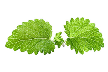 Fresh green leaf mint close-up isolated on a white background. Melissa officinalis