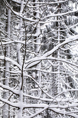 big snow-covered trees in the forest, winter in bavaria - postcard background