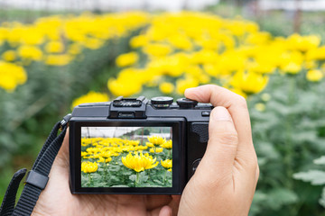 Hand taking photo of beautiful flowers with mirrorless digital camera at chrysanthemum flower farm