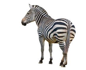 Keuken foto achterwand Zebra Zebra isolated on white background