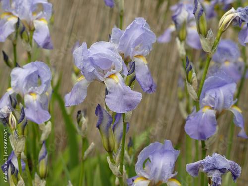 Iris barbata - Iris barbu ou iris de jardins aux tépales et sépales ...