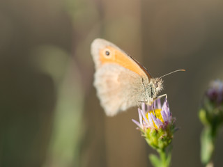 The small heath ( Coenonympha pamphilus ) butterfly sitting on a blooming flower