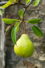 Pear Fruit, Alternativ Gardening