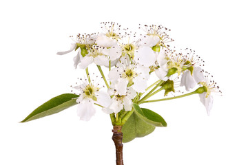 Stem with Asian pear flowers isolated