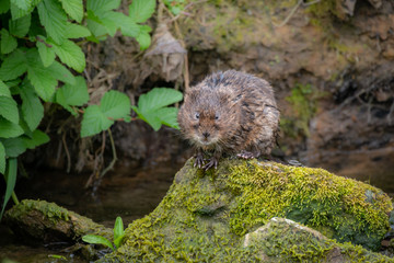 Fotoväggar - UK Wild Watervole
