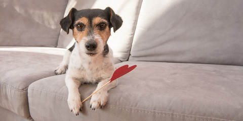 Romantic Jack Russell Terrier dog. Lovable dog is holding a heart to the Valentine's Day in the mouth
