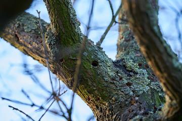 ein durch den Asiatischen Laubholzbockkäfer befallener Baum in Magdeburg in Deutschland. Der Käfer breitet sich etwa seit dem Jahr 2000 in Europa aus, und schädigt Laubbäume.
