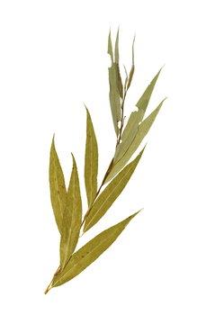 Herbarium with dry pressed on white background. Salix babylonica.