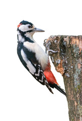 Great spotted woodpecker isolated