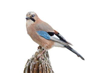 Eurasian jay isolated on white. (Garrulus glandarius)