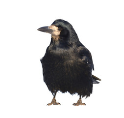 Rook isolated on white. Corvus frugilegus