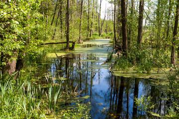 Obraz Białowieski Park Narodowy, las pierwotny, podmokły teren, martwe drzewa. - fototapety do salonu