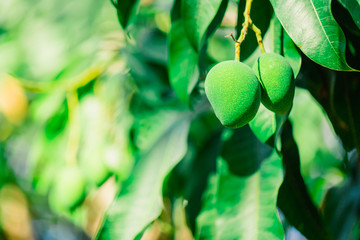 Branch of a mango tree with fruits. Green mango photographed close-up. The texture of the green mango. Exotic background