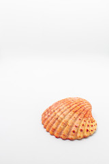 Atlantic giant cockle seashell on isolated white background creating space for text