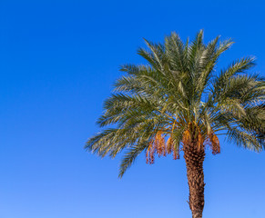 Date palm tree with blue sky background