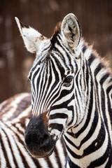 Wall Mural - close up of zebra