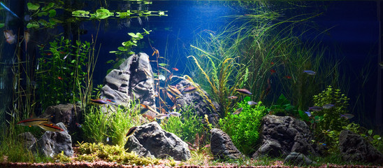 Planted tropical fresh water aquarium with small fishes in low key with dark blue background
