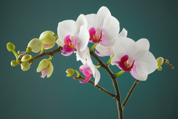 Branch of white orchid flower.