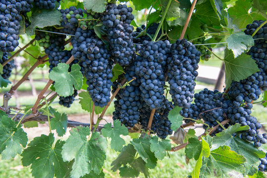 Bunches of purple grapes on the vine in Solvang, California