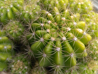 Close-up picture of green cactus with bright spikes - image