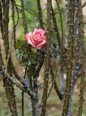 A single pink rose is pictured in a public park in Amman.