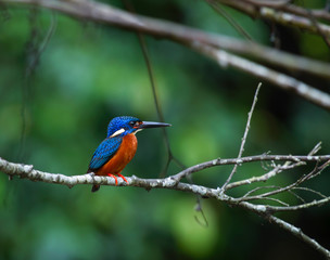 blue eared kingfisher (alcedo meninting).The blue-eared kingfisher is found in Asia, ranging across the Indian subcontinent and Southeast Asia. It is found mainly in dense shaded forests where it hunt