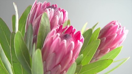 Fotoväggar - Protea bud closeup. Bunch of pink King Protea flower over grey background. Slow motion 4K UHD video footage. 3840X2160