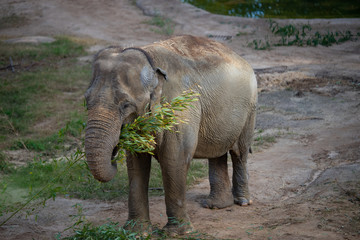 Big elephant eating bamboo branches.