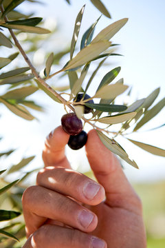 Hand Picking Olives off tree