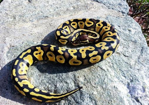 Pastel Baby Ball Python