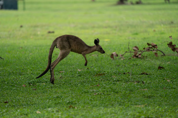 Kangaroo jumping