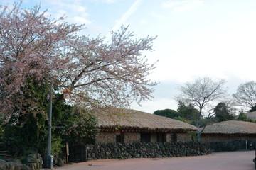 """제주에 있는 """"성읍민속 마을""""의 봄 풍경이다."""