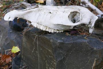 Horse head skeleton on a rock