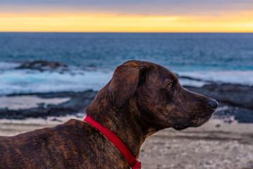 Brown brindle hound dog on beach at sunset