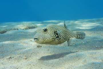 Young Star Pufferfish (Arothron stellatus) swim over sandy bottom, Red Sea, Dahab, Egypt, Africa