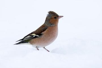 Common chaffinch (Fringilla coelebs) in the snow, Tyrol, Austria, Europe