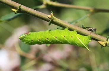 An pretty Eyed Hawk-moth Caterpillar (Smerinthus ocellata) feeding on willow leaves.