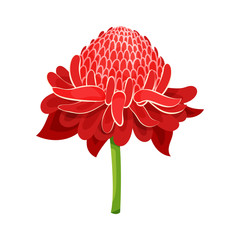 Red ginger flower with green stem. Tropical plant. Nature theme. Detailed flat vector design