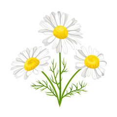 Bouquet of chamomile isolated on white background. Vector illustration of white daisies flowers with green leaves in cartoon flat style.