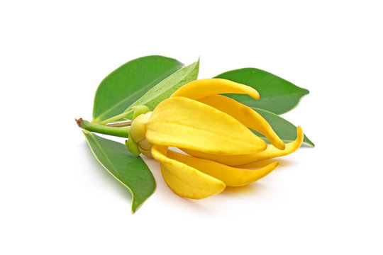 Ylang Ylang flower with green leaves isolated on white background.