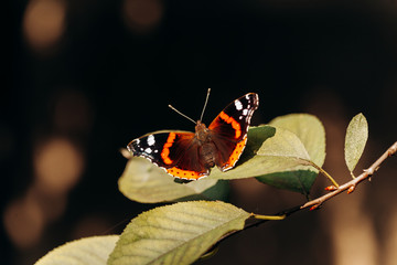 Vanessa atalanta or the red admiral. Beautiful butterfly with black wings, orange bands, and white spots