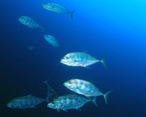 Fish in ocean. Reef fish school underwater