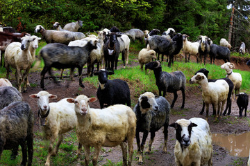A flock of sheep walks along the road washed by heavy rain among large puddles and tall fir trees.